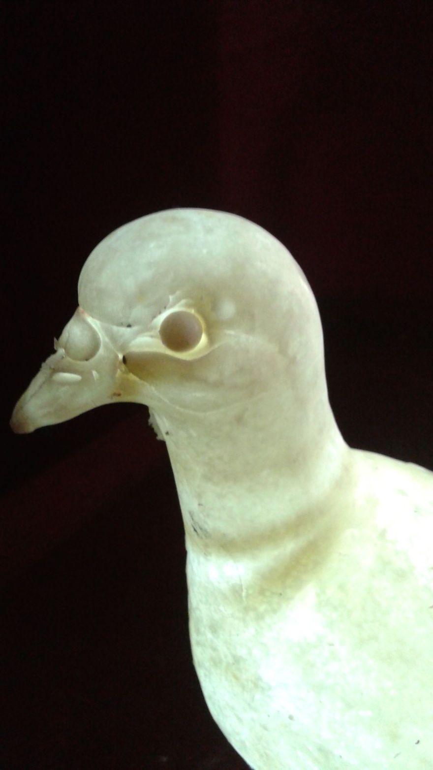 pigeonlightdetail